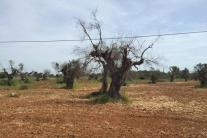 Xylella: Fitto-De Castro, appello a governo e Regione Puglia