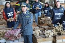 Sequestrate 8 tonnellate di coralli