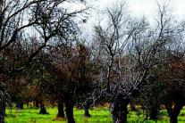 Stop alla xylella nasce Save the Olives