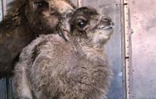 Polignano a Mare, lieto evento al circo Orfei: nasce un baby cammello