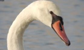 Poacher kills protected swan near Ravenna