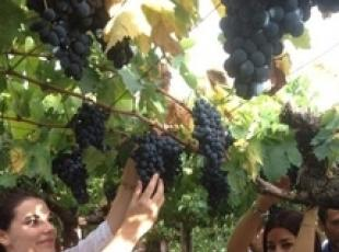 Italy's grape harvest to hit post-war low, -25%