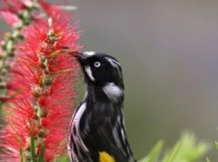 Un esemplare di New Holland Honeyeater tra i fiori